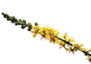 AGRIMONY FLOWER