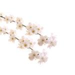 CHERRY PLUM FLOWER