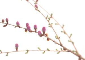 LARCH FLOWER