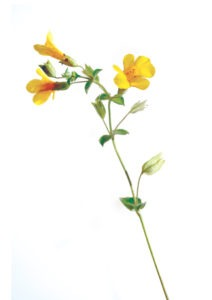 MIMULUS FLOWER