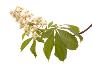 WHITE CHESTNUT FLOWER